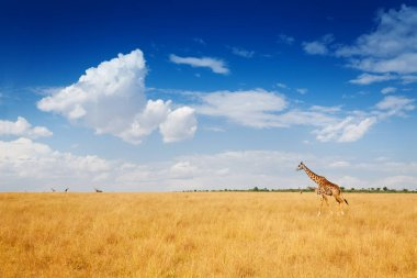 Beautiful scenic view of Kenyan savannah with giraffe walking in dried grass, Kenya, Africa stock vector