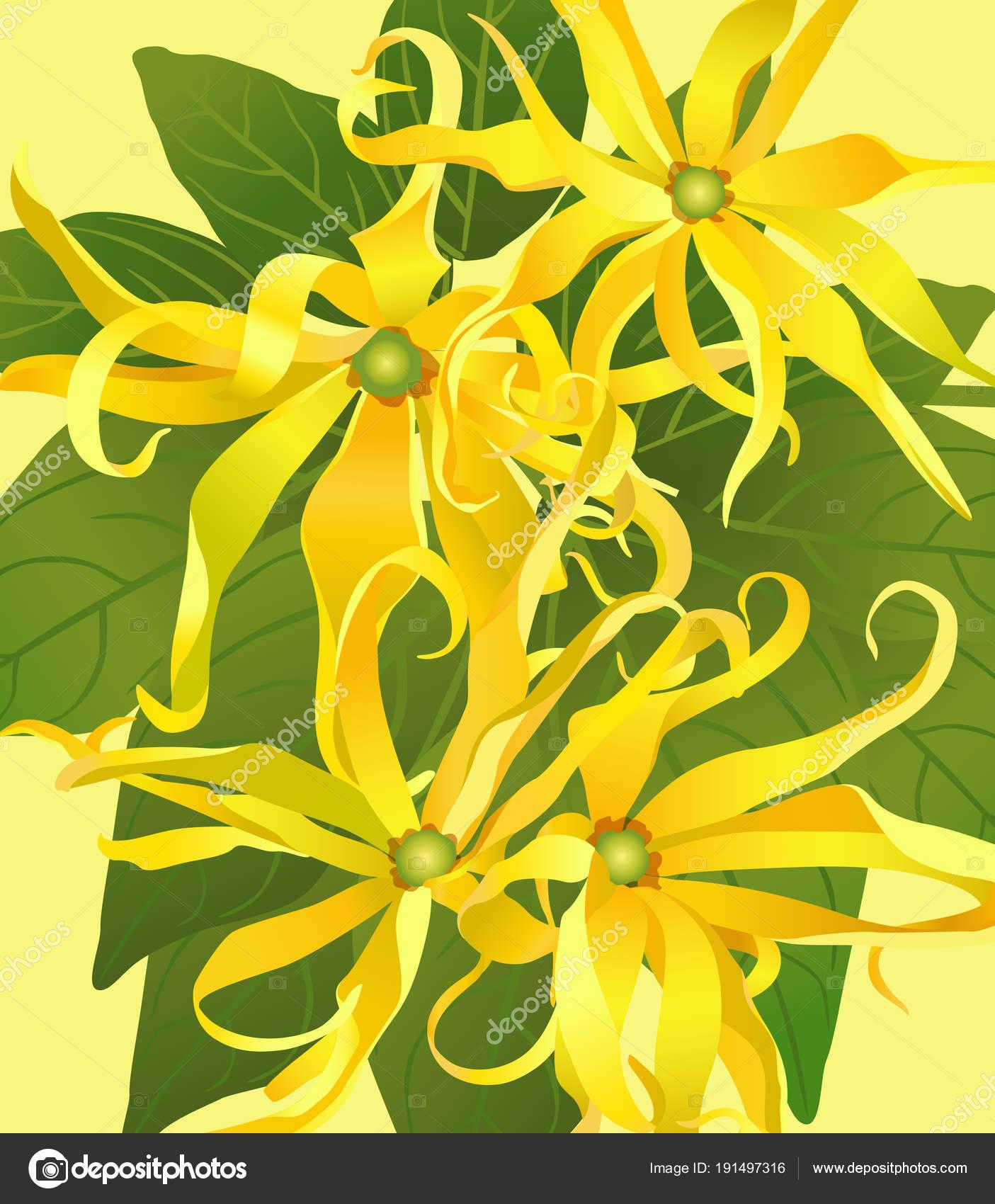 Fiori Ylang Ylang.Background From Flowers Ylang Ylang Stock Vector C Svetik 191497316