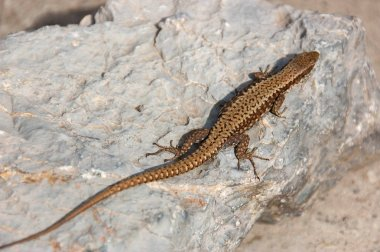Lizard standing on the rock