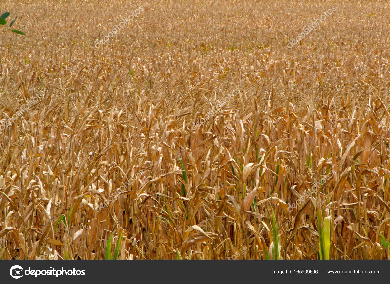 Campo de maíz, listo para la cosecha — Foto de stock © dejtan05 ...