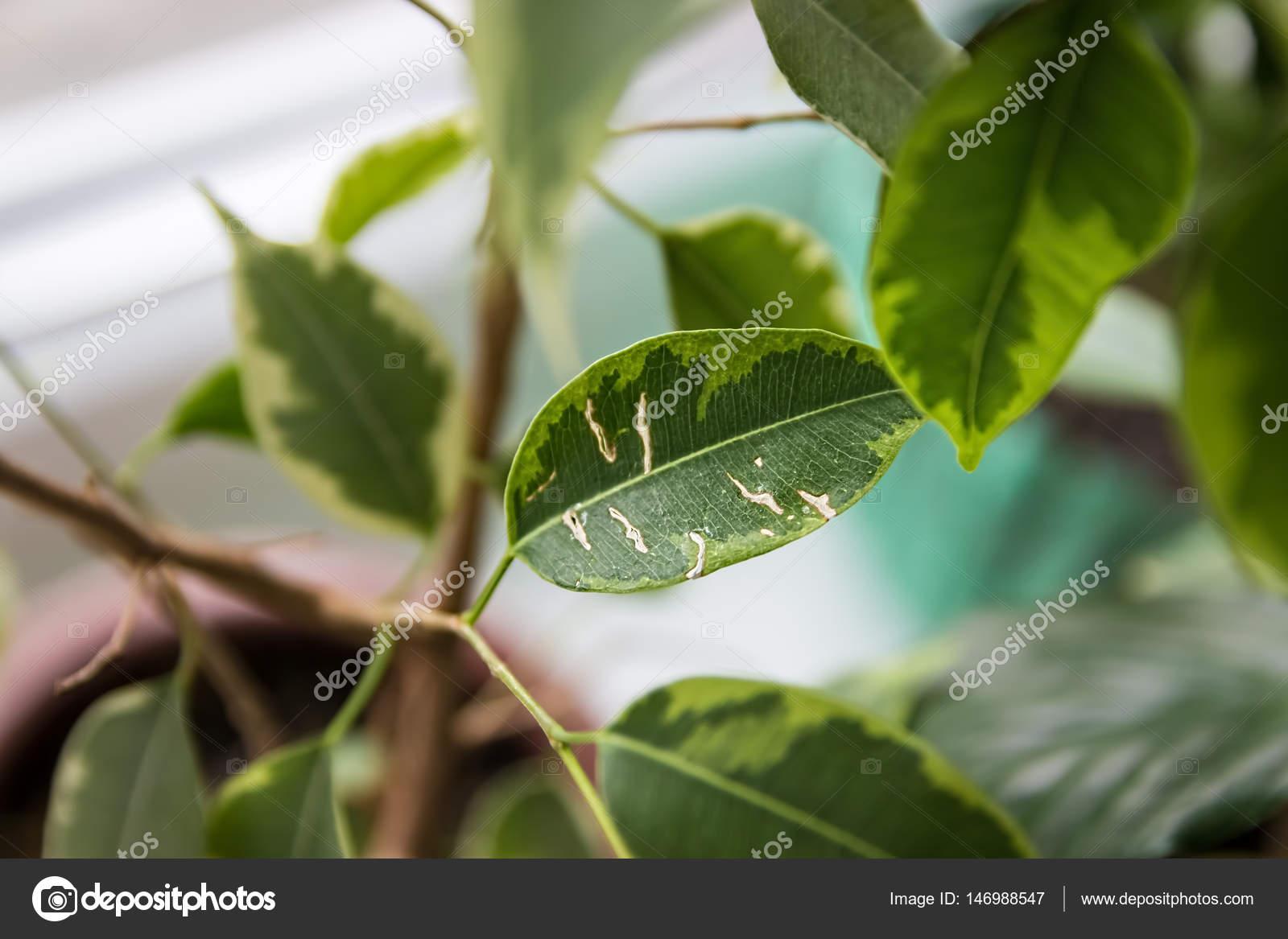 Pianta Ficus Benjamin - Weihnachtsdeko Selber Machen