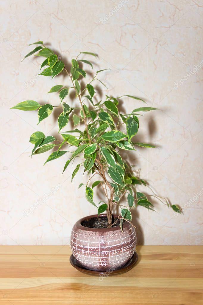 Ficus Benjamina. House plant.
