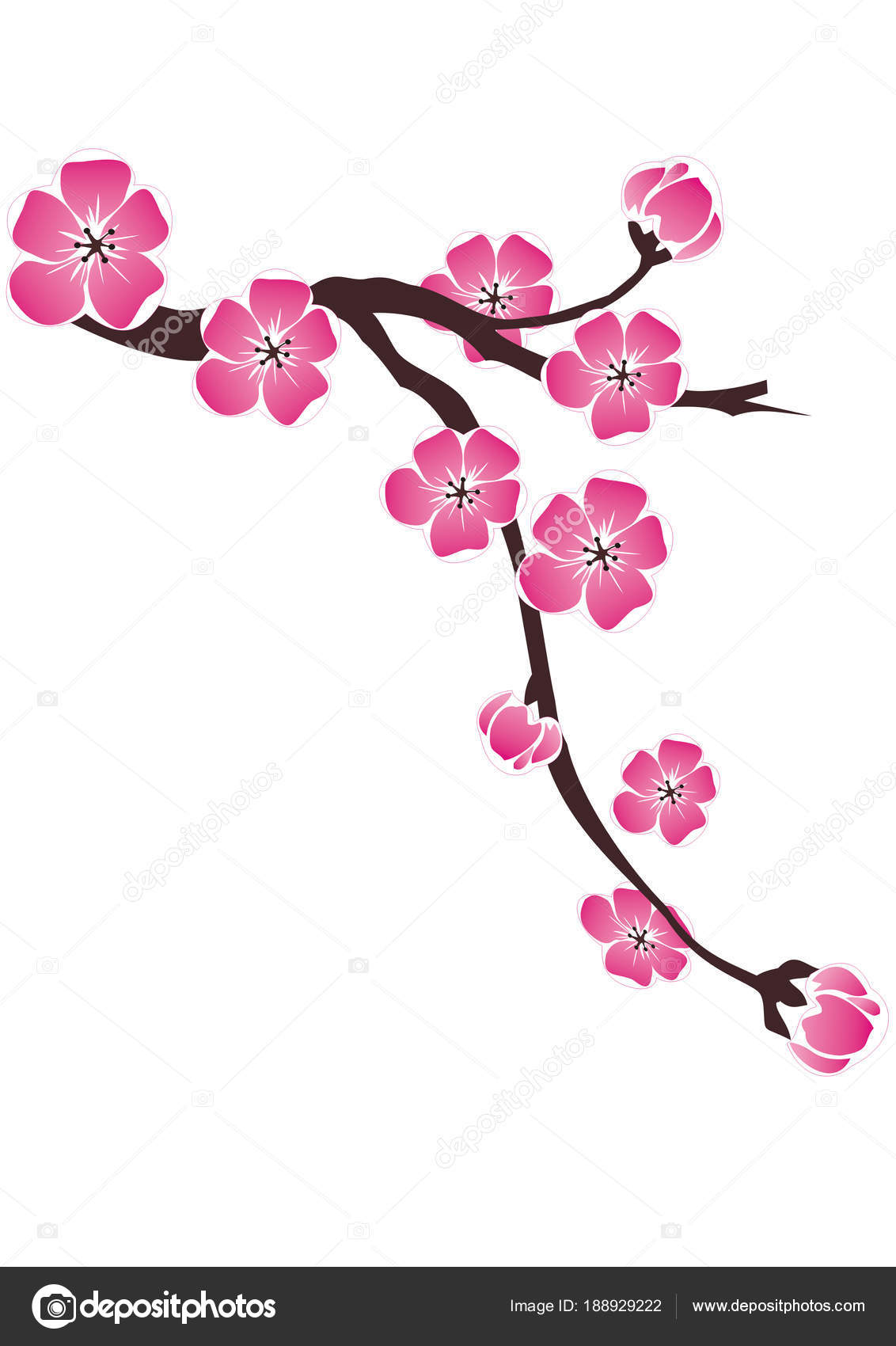 Branche Fleurs Cerisiers Sur Fond Blanc Dans Dessin Photographie