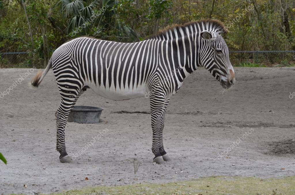 female zebra on display in an outdoor African wildlife exhibit in a Southeast florida zoo.