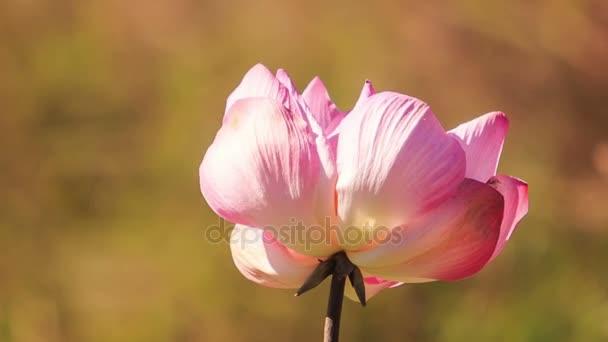 vítr třese růžové Lotosový květ