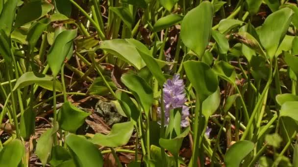Jácint virág közül a hosszú levelek
