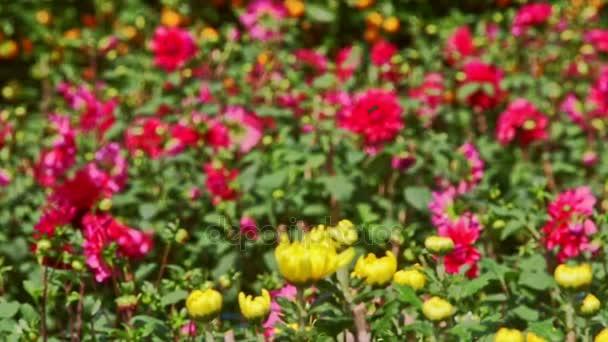 Žluté chryzantémy proti červené fialové květy