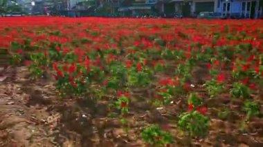 plantáž květů salvia před uliční zástavbou