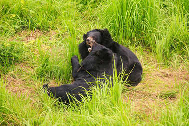 big black bears gambol on high grass in zoo of tropical park in  Asia