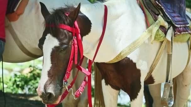 detailní záběr dvě bílé a hnědé domácí osedlané koně odpočívající