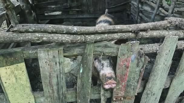 zvědavý špinavý velký dospělý prase čenich vypadá na kameru přes dřevěný plot