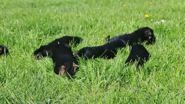 malá černá německá ovčák štěňátka odpočívat společně ve vysoké zelené trávě