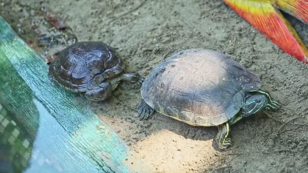 közelkép panoráma két teknős pihen a homokban, hogy egy teknős úszás a tóban