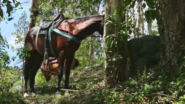 dva velké hnědé domácí koně s venkovskými sedly přivázanými k tropickým stromům