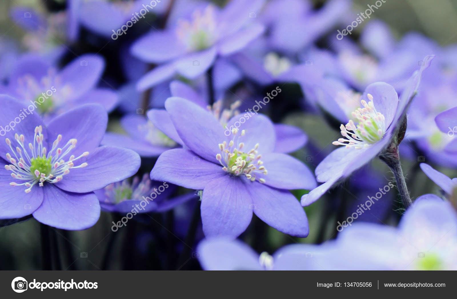 Mantarı Nobilis Erken Baharda çiçek Açan çiçekler Bac Bulanık