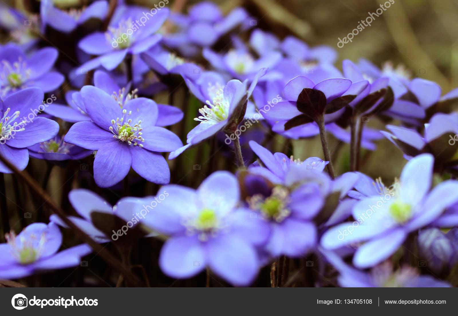 Hepatica Nobilis Blooming Flowers In Early Spring Blurred Bac