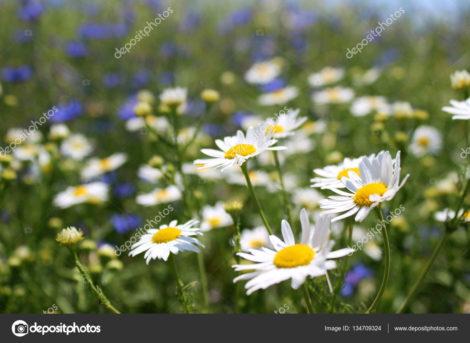 Wild daisies many blurred flowers in the field camomile and co wild daisies many blurred flowers in the field camomile and co stock photo izmirmasajfo Images