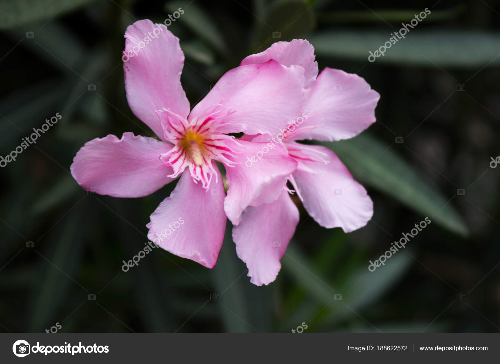Oleander poisonous plant with beautiful pale pink flowers gro oleander poisonous plant with beautiful pale pink flowers gro stock photo mightylinksfo Images