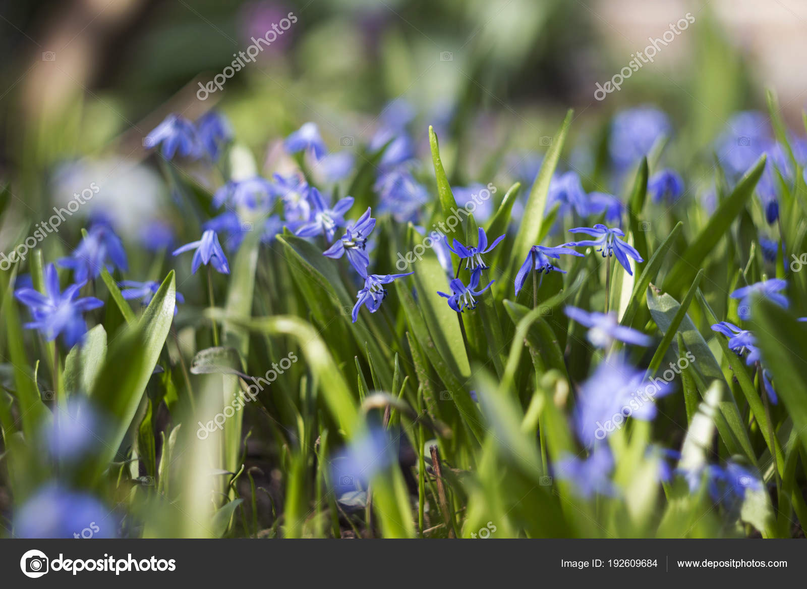 Scilla Bifolia Flowering Of Small Blue Flowers In The Spring I