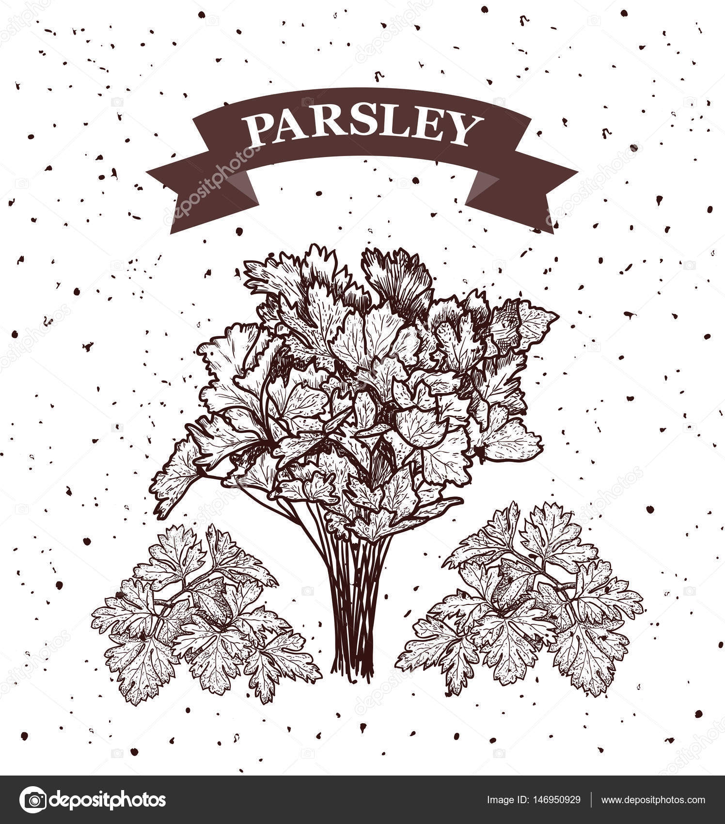Parsley Illustration Parsley. Herb and spic...