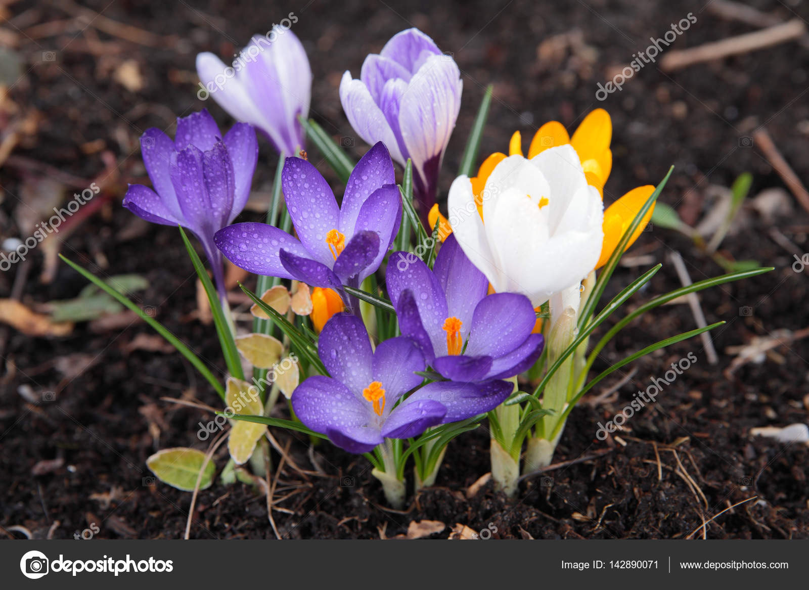Erste Fruhlingsblumen Krokusse Stockfoto C Planinas 142890071