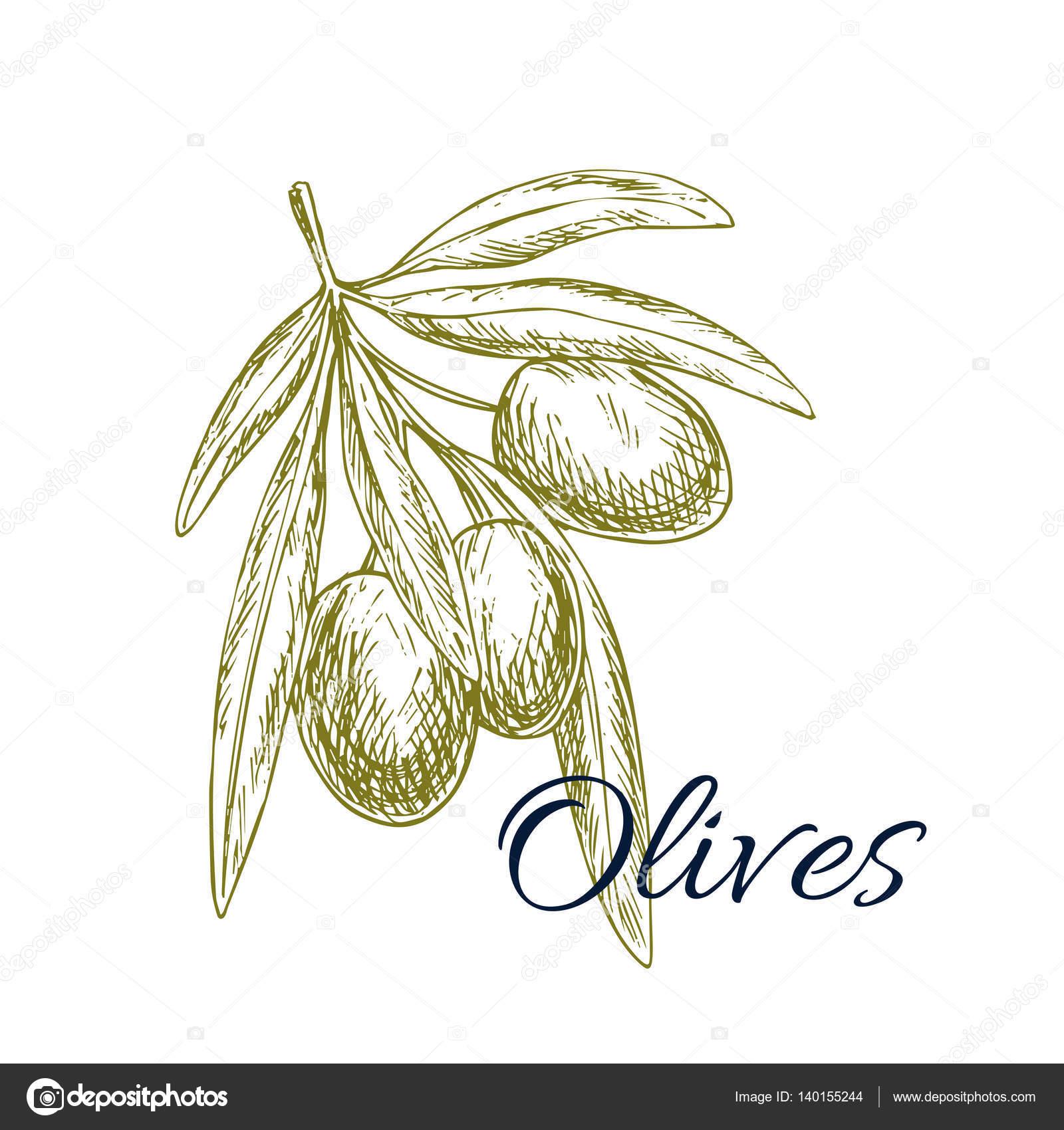 branche d olivier vecteur esquisse avec olives tas image. Black Bedroom Furniture Sets. Home Design Ideas