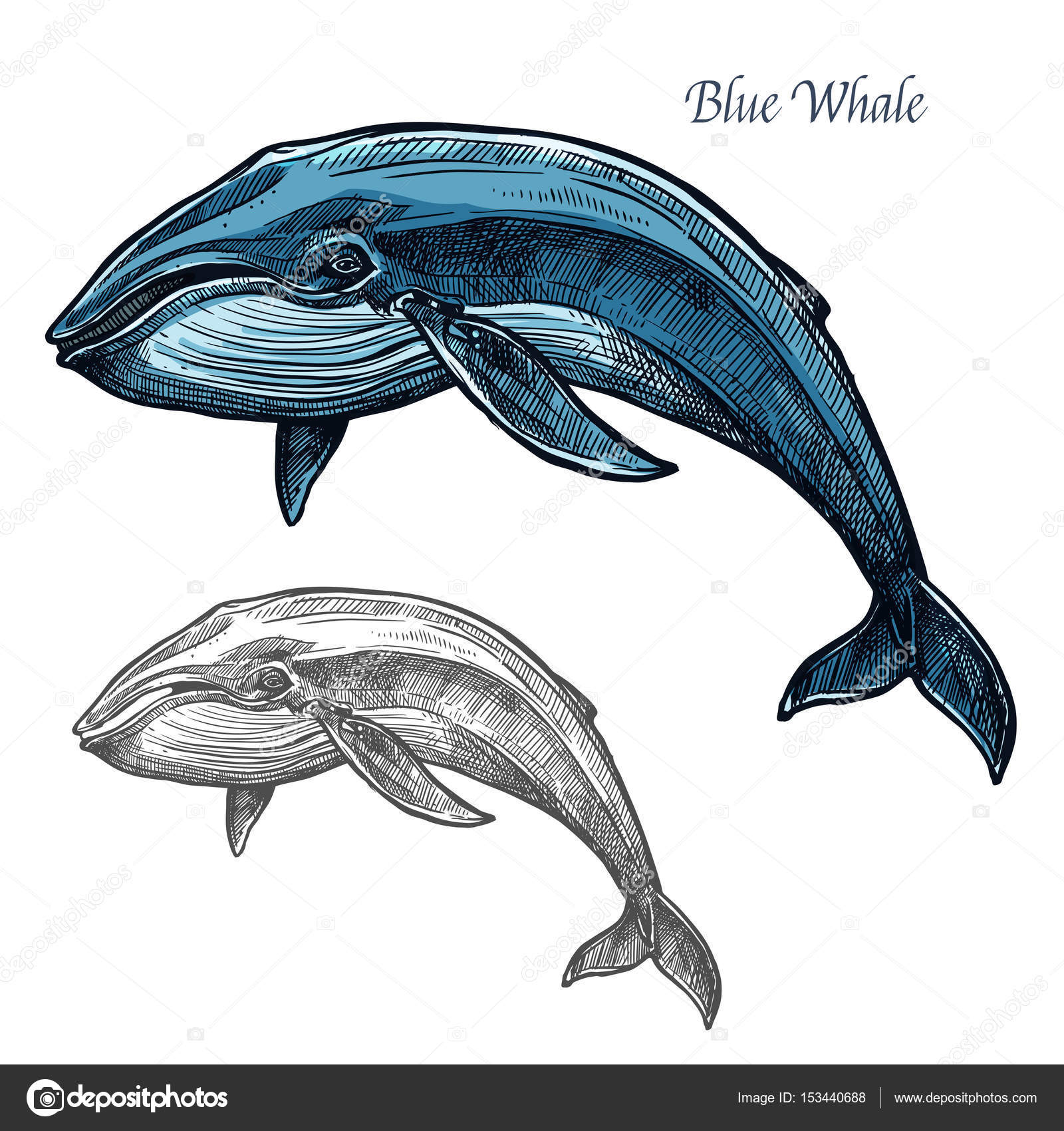 Blue whale isolated sketch for sea animal design stock vector whale sea animal isolated sketch swimming blue whale marine mammal symbol for underwater wildlife theme t shirt print fishery industry design vector by biocorpaavc Choice Image