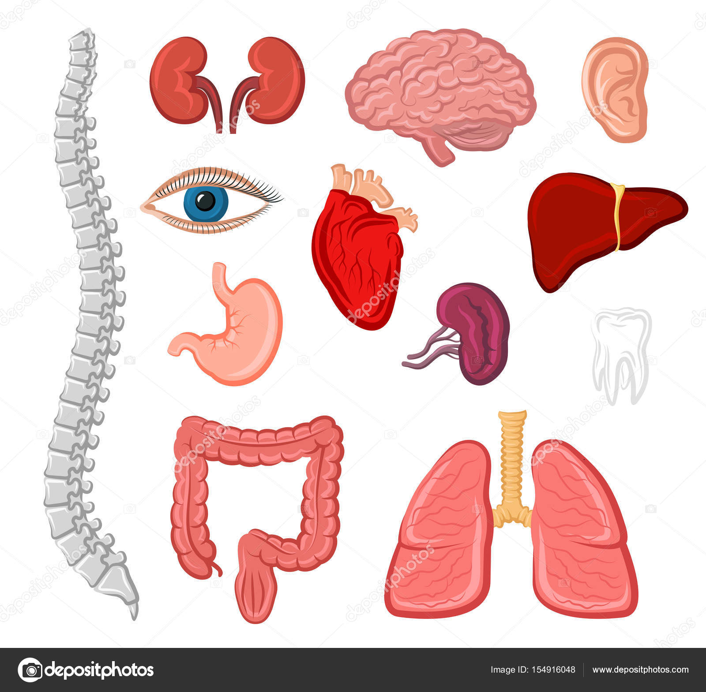 Icono aislado de órganos humanos para el diseño de la anatomía ...
