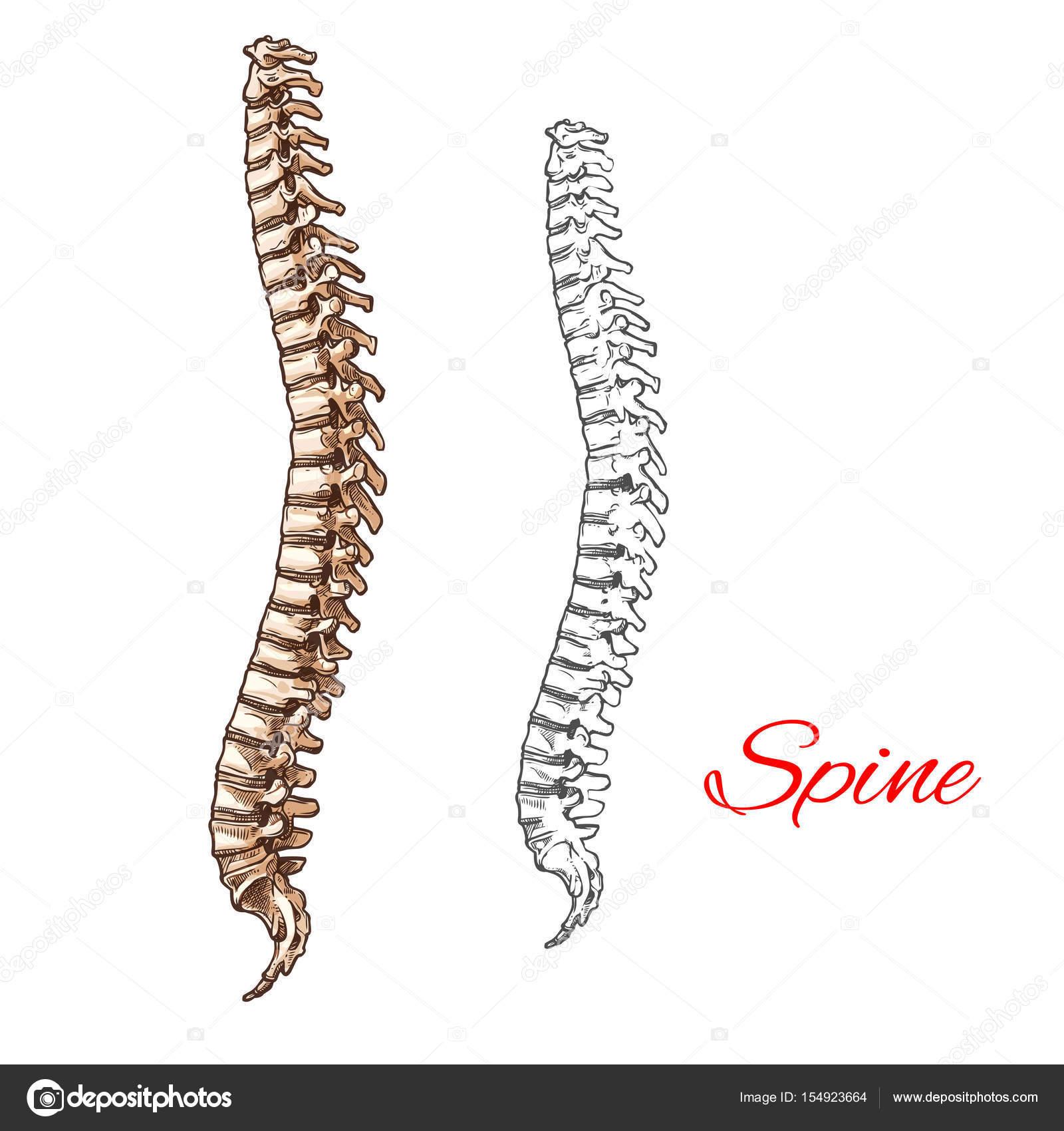Vektor-Skizze-Symbol der menschlichen Wirbelsäule Knochen oder ...