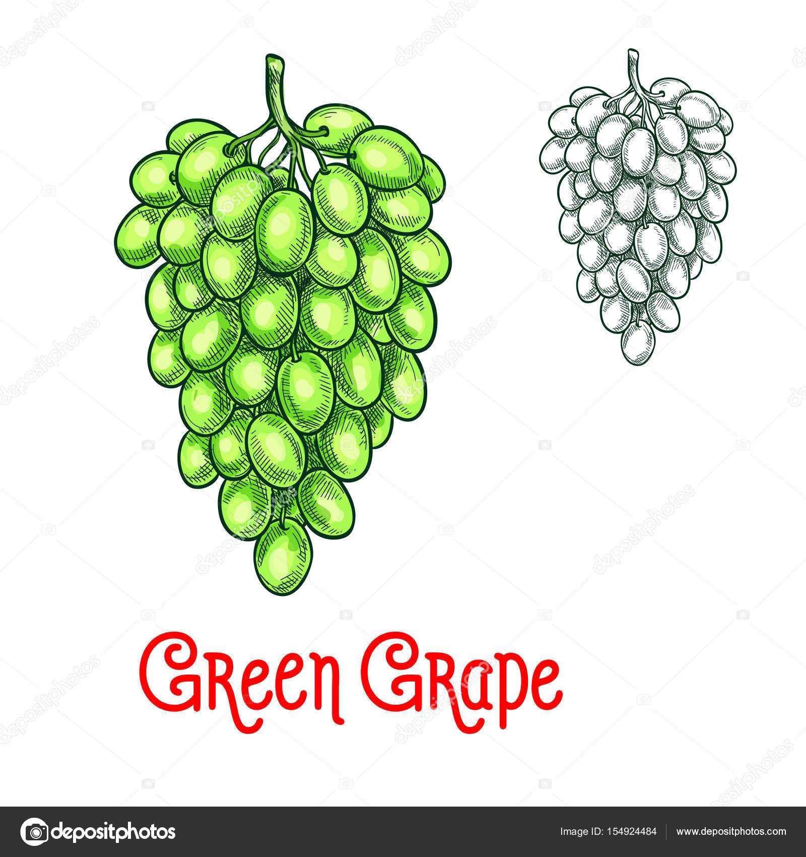 vetor de uva verde desenho isolado fruto baga vetores de stock