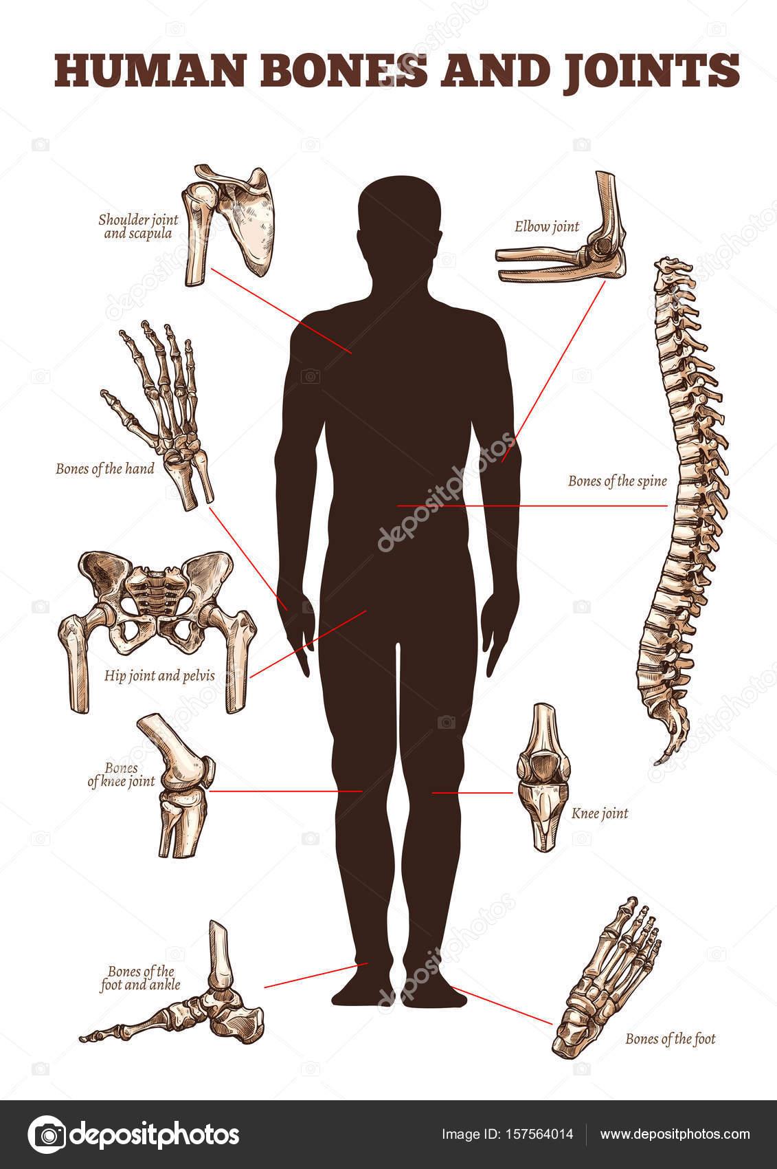 Vektor medizinische Vektor Poster von menschlichen Knochen Gelenke ...