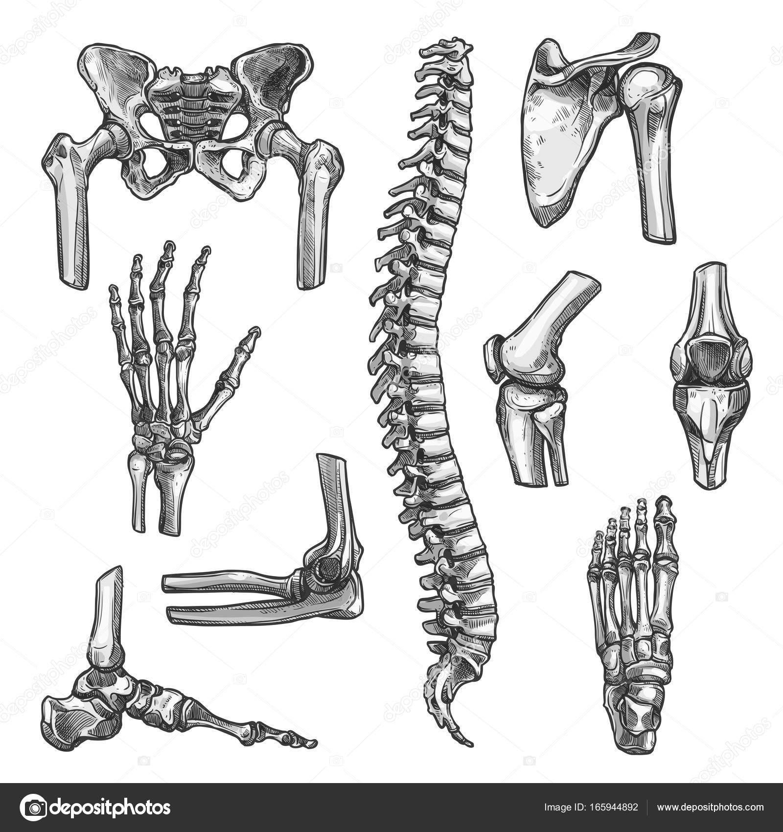 Dibujos de huesos y articulaciones sistema para diseño de medicina ...