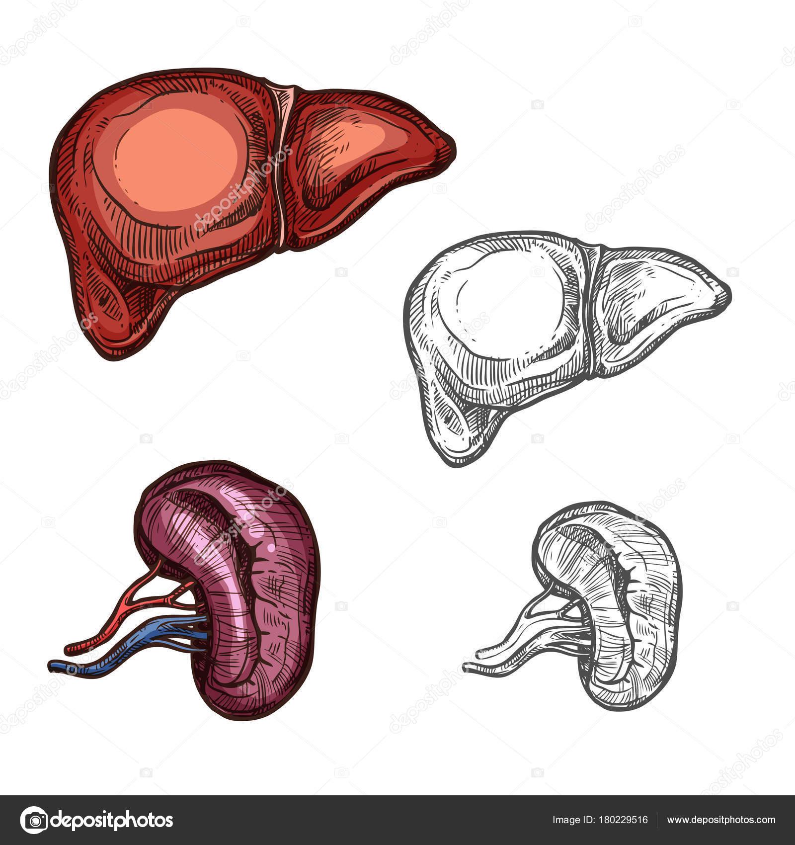 Menschliche Organe Leber und Niere Vektor skizzieren Symbole ...