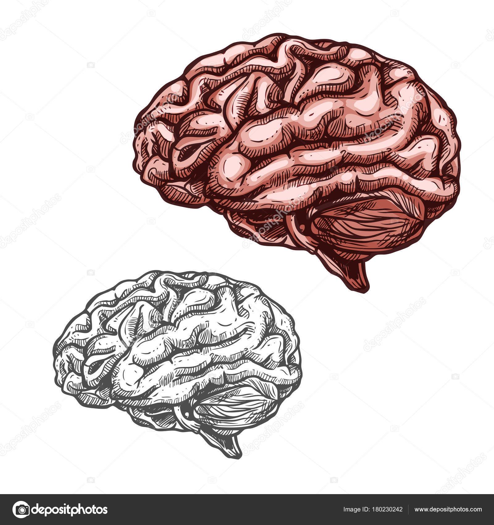 Menschliches Organ Gehirn Vektor Skizzensymbol — Stockvektor ...