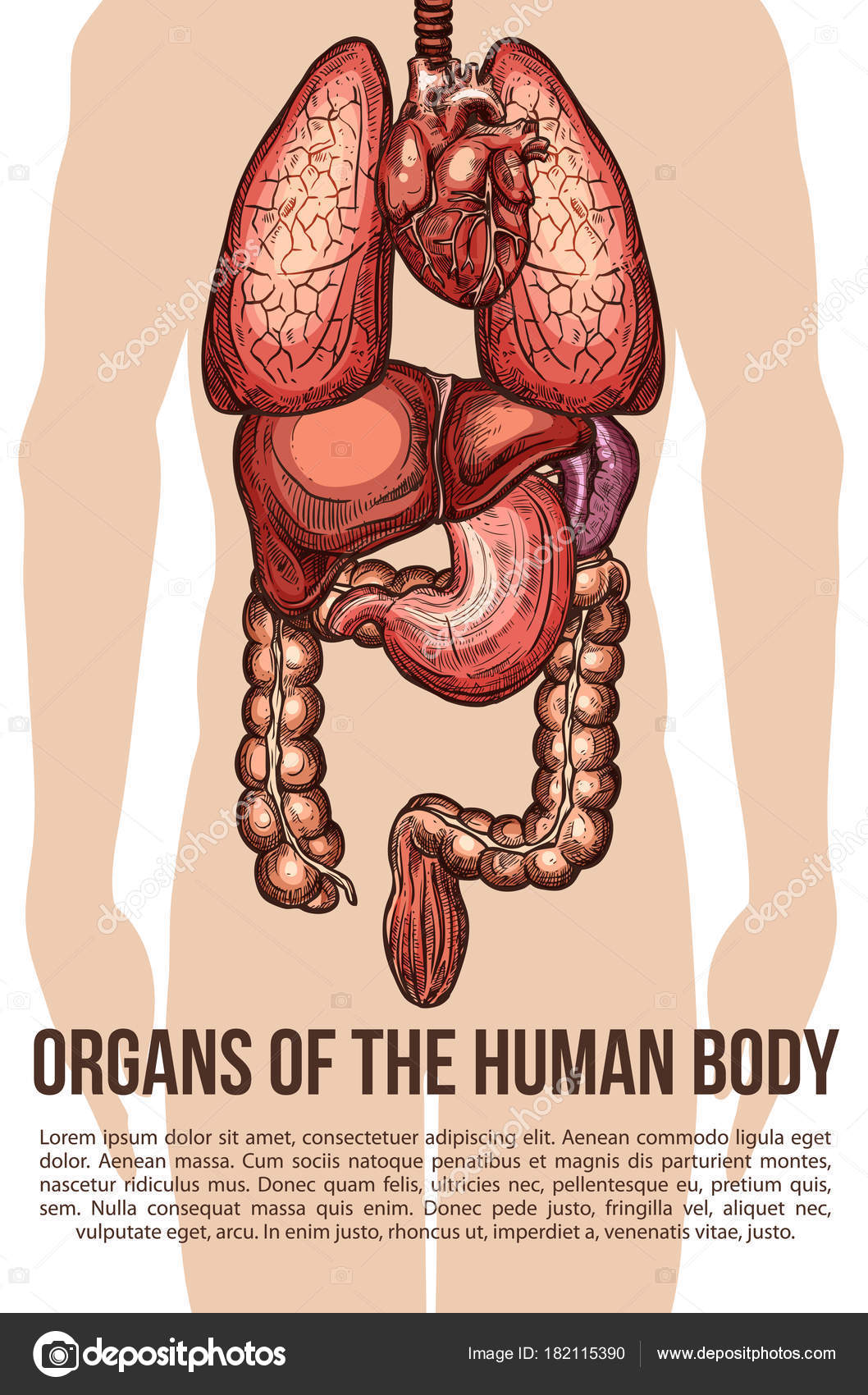 Human organs body system vector sketch poster — Stock Vector ...