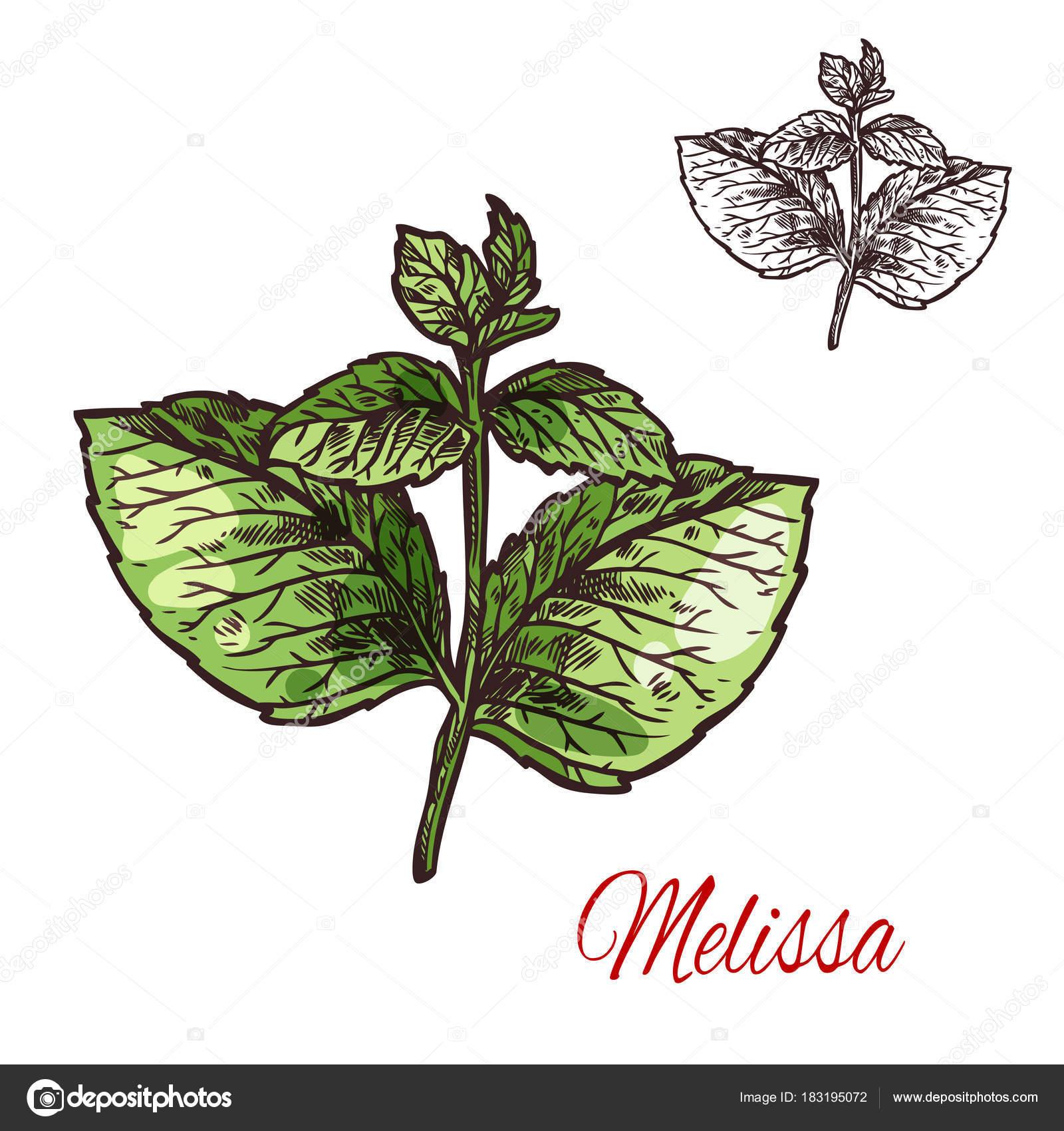 croquis de feuille melissa de plante médicinale et d'arôme herbe