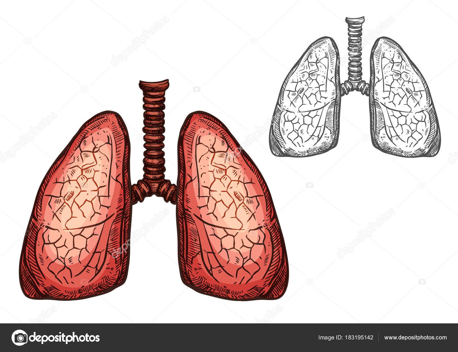 Órgano pulmón de sketch aislado anatomía humana — Vector de stock ...