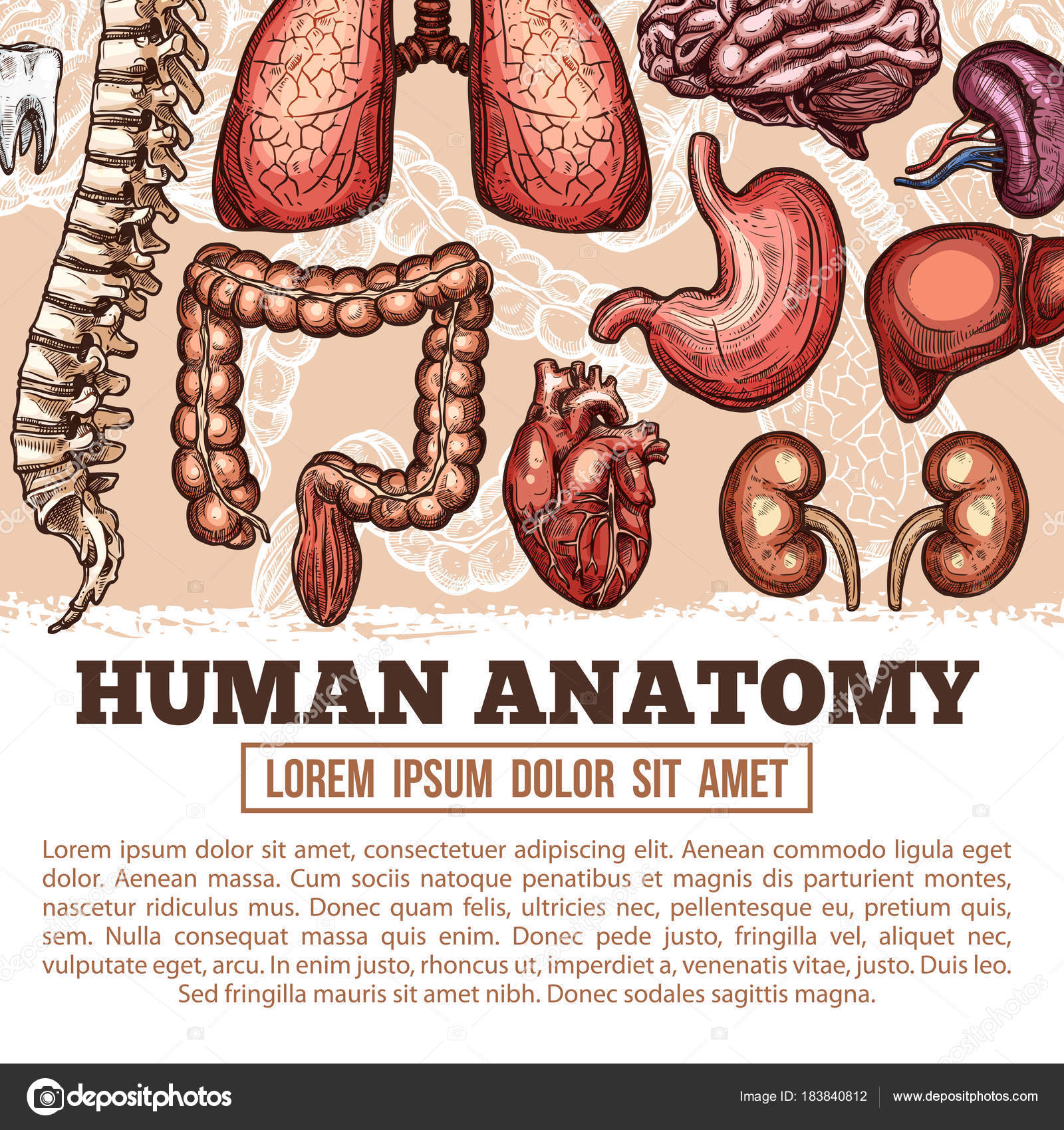 Menschliche Organe Anatomie Vektor Skizze Plakat — Stockvektor ...