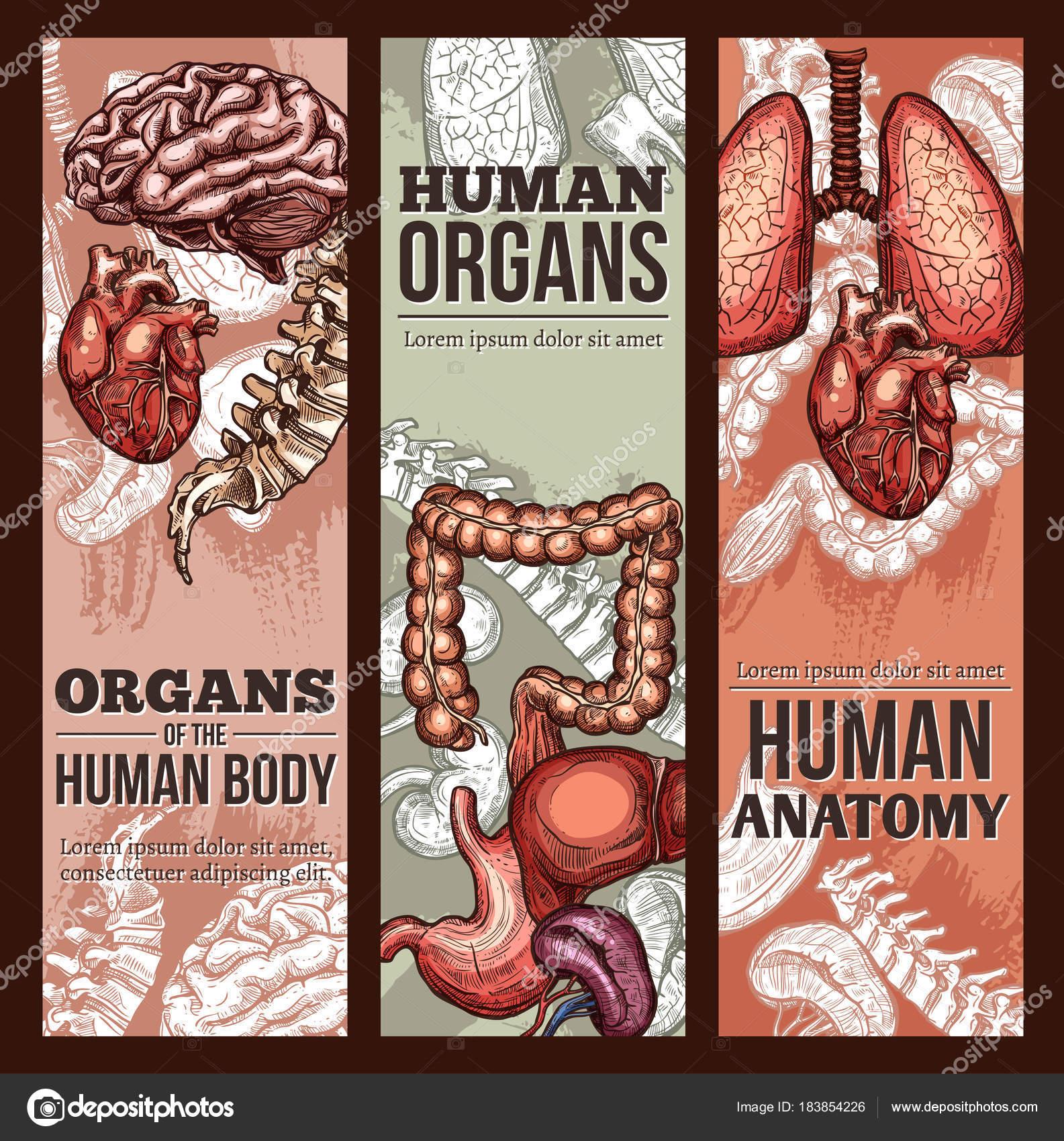 Menschliche Organe Vektor Skizze Anatomie poster — Stockvektor ...