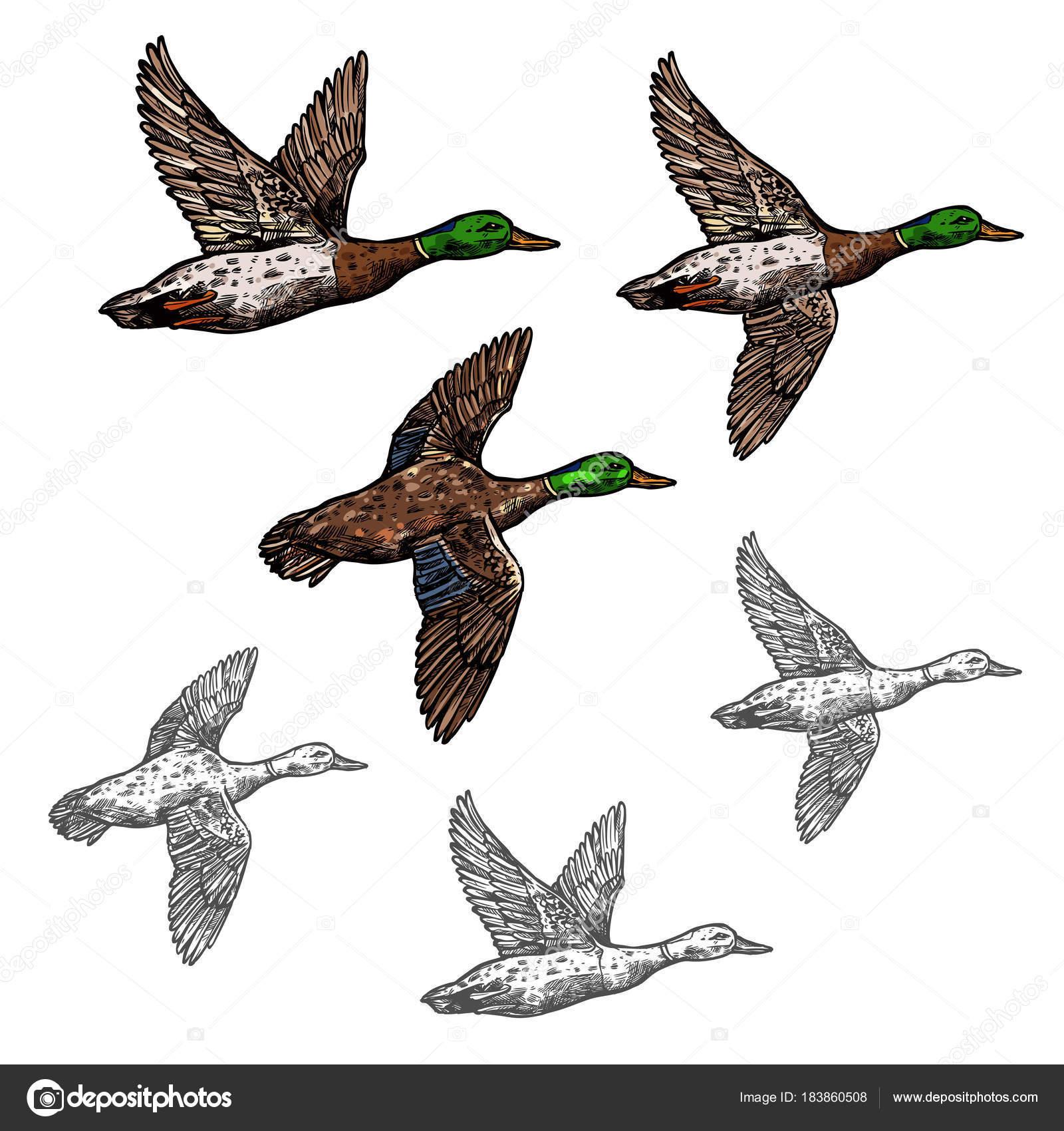 Icono de aves silvestres de ánade real pato vector dibujo — Vector ...