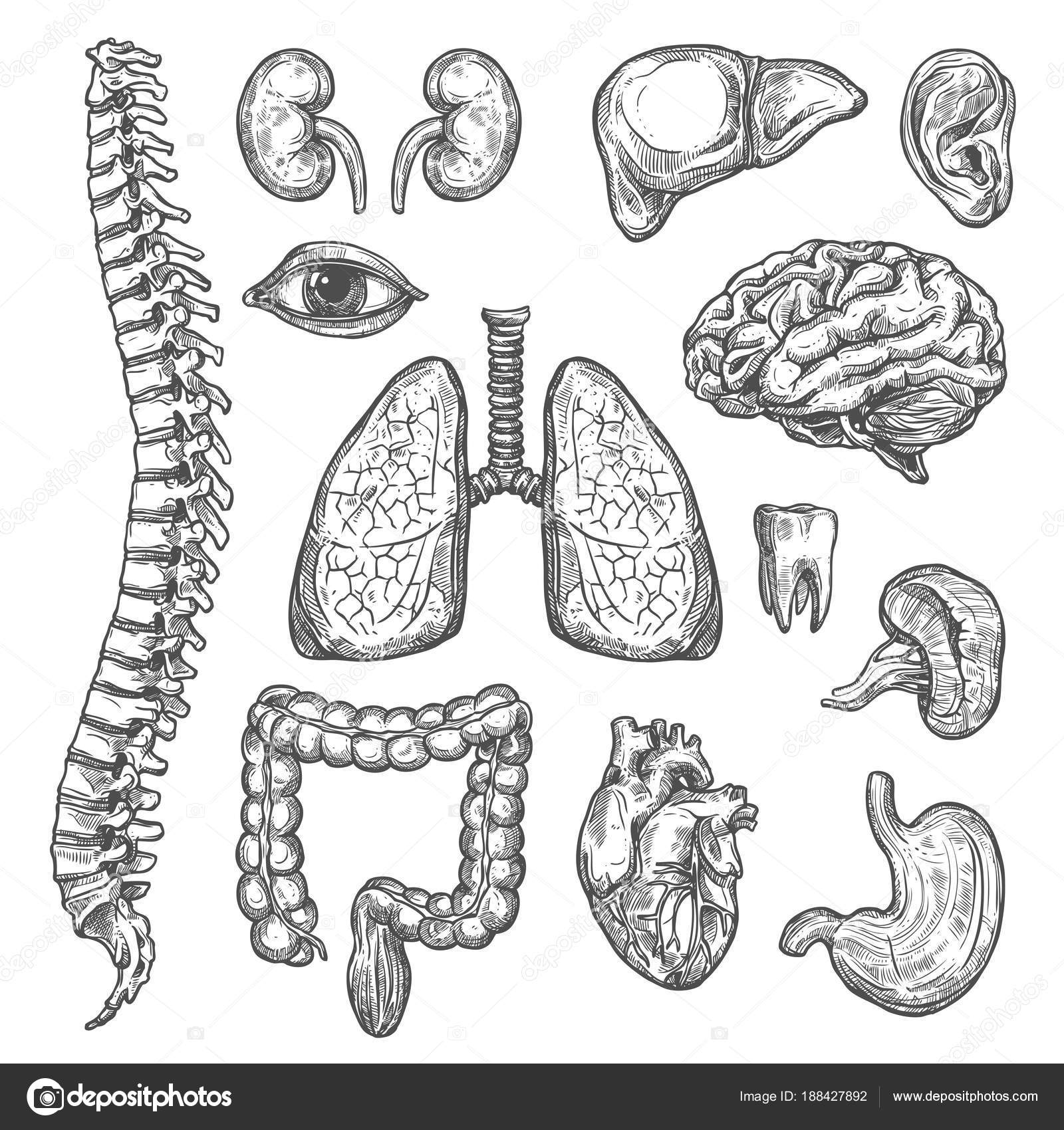 Human Organs Vector Sketch Body Anatomy Icons Stock Vector