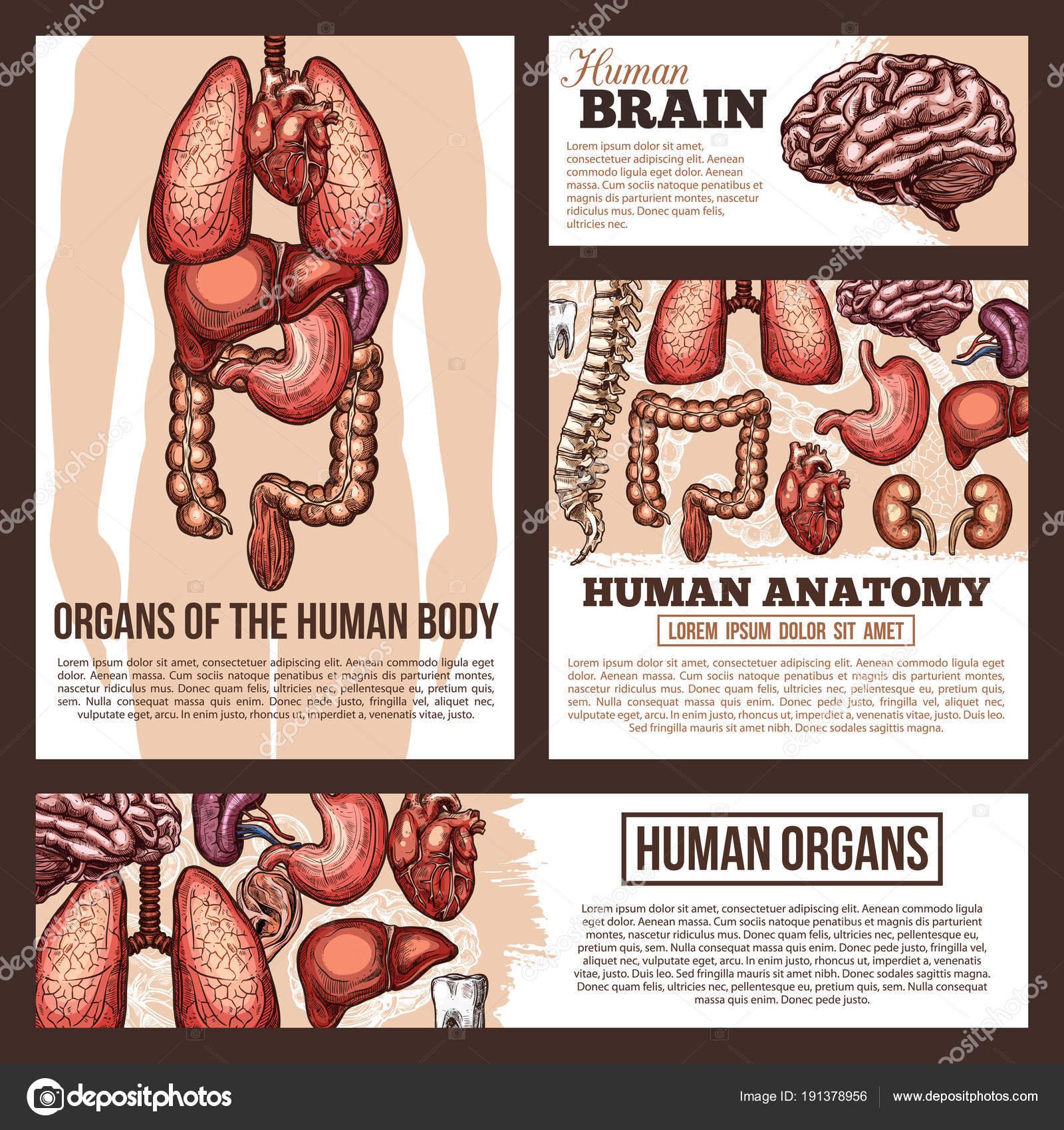Anatomie des menschlichen Organen Skizze Banner Vorlage ...