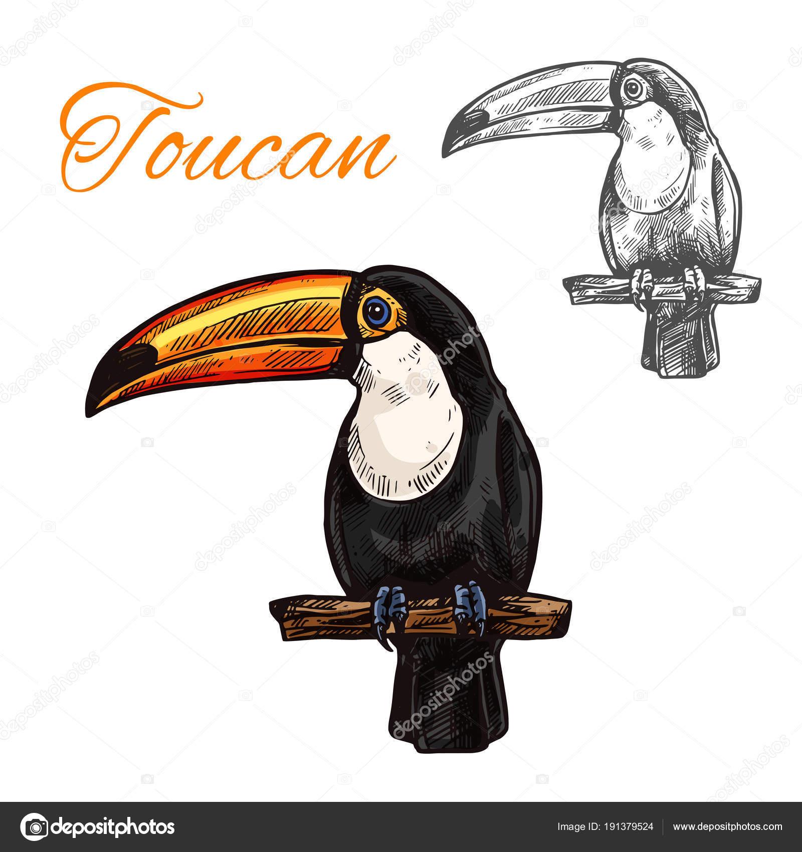 Dibujo aislado Tucán de aves exóticas tropicales — Vector de stock ...