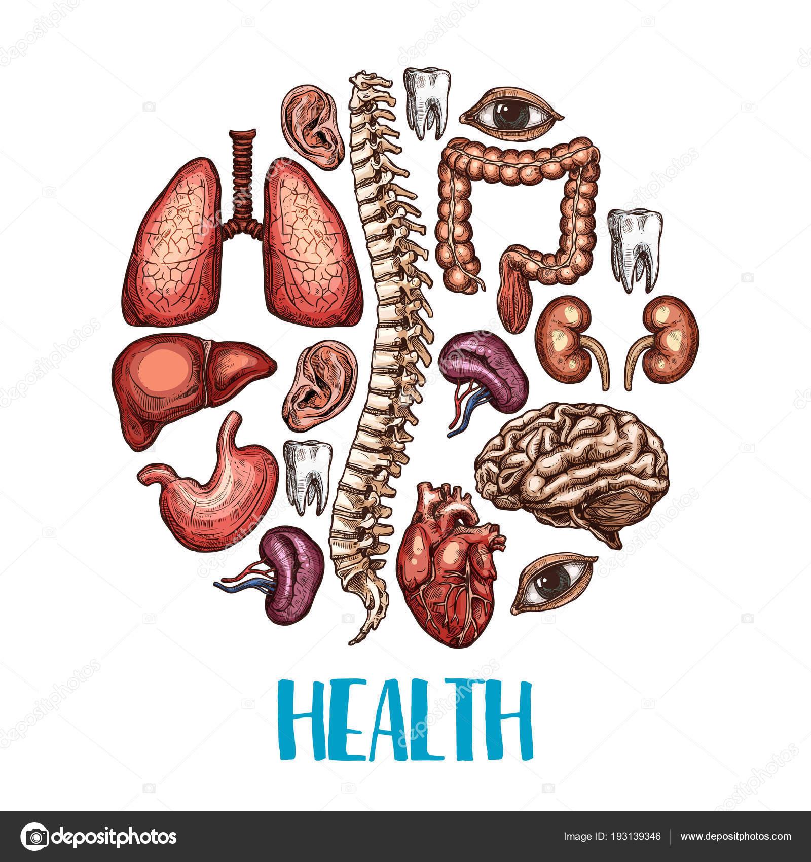Human organs health vector sketch poster — Stock Vector © Seamartini ...