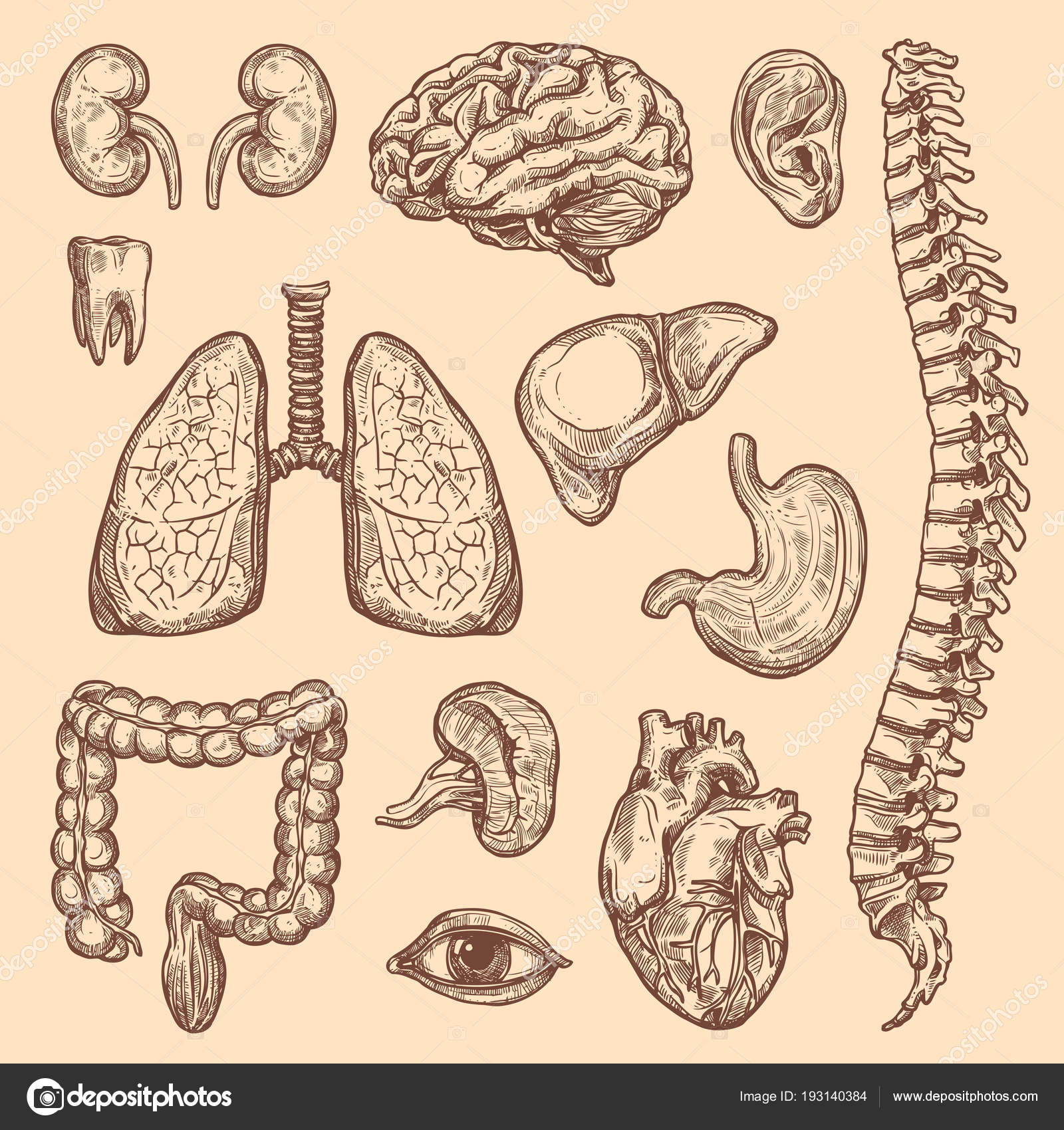 Menschliche Organe Vektor skizzieren Körper Anatomie Symbole ...