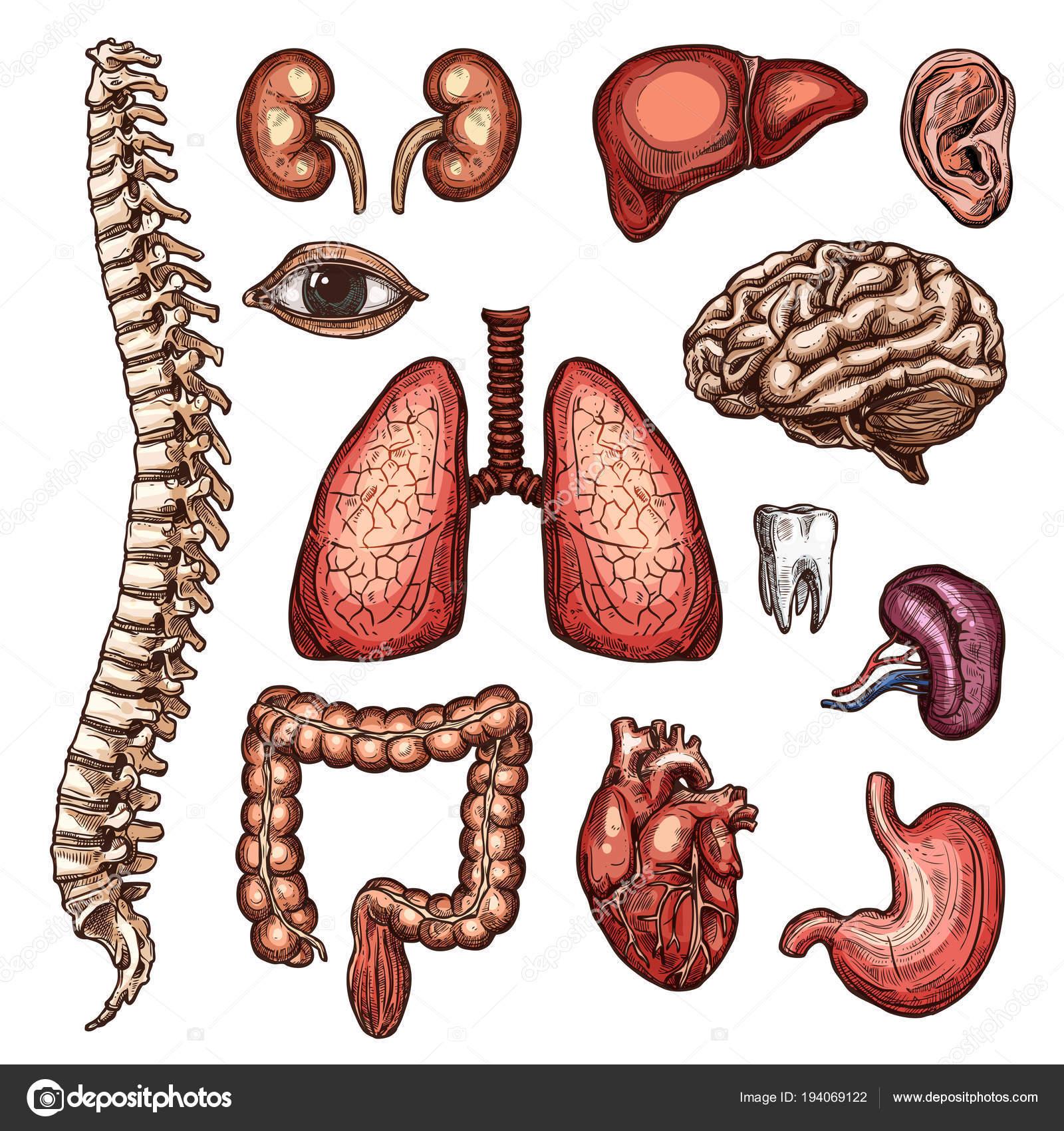 Orgel, Knochen und Körper Teil Skizze der menschlichen Anatomie ...