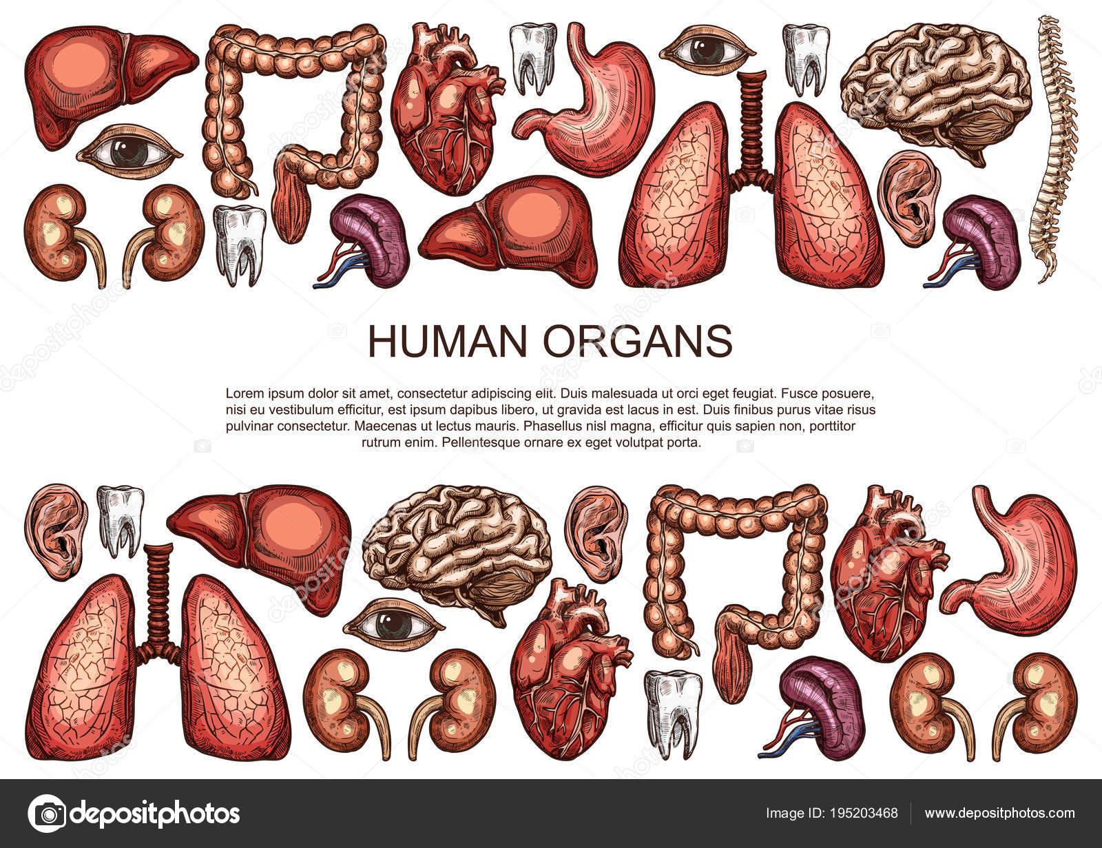 Human organs vector sketch body anatomy poster — Stock Vector ...