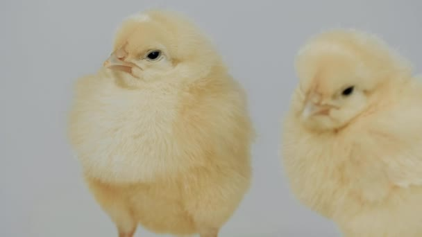 Little Chickens Standing on The White Background Closeup