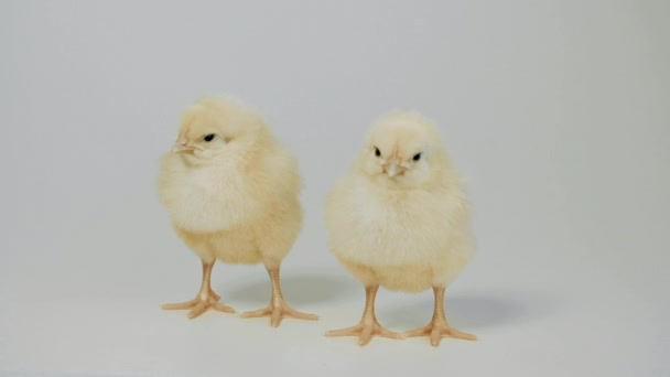 Little Chickens Standing on The White Background