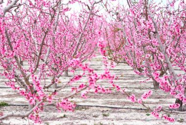 Blossoming of fruit trees in Cieza. Spain